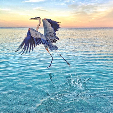 Great Blue Heron taking off from ocean